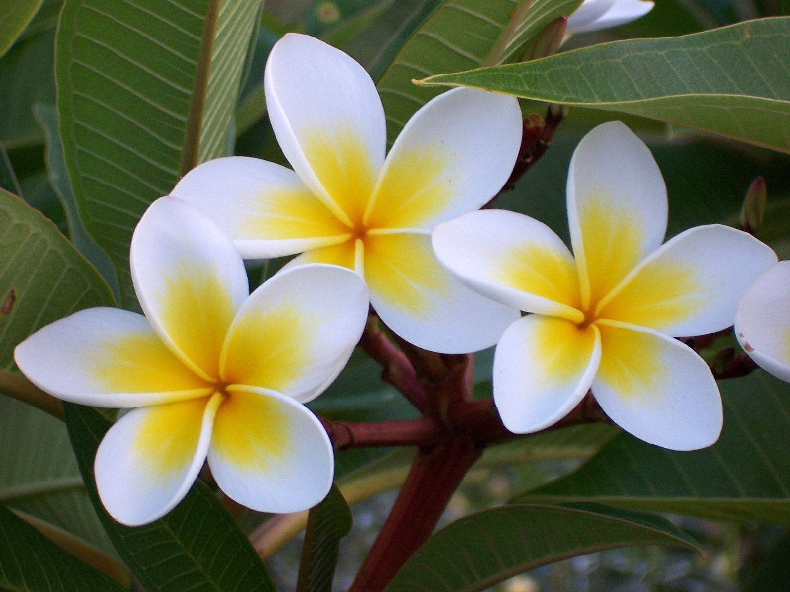 Frangipani A Beautiful And Exotic Flower With An Exquisite Aroma